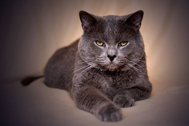 088d68550660 Ποιες είναι οι μεγαλύτερες γάτες  Οι μεγαλύτερες φυλές των γατών ...