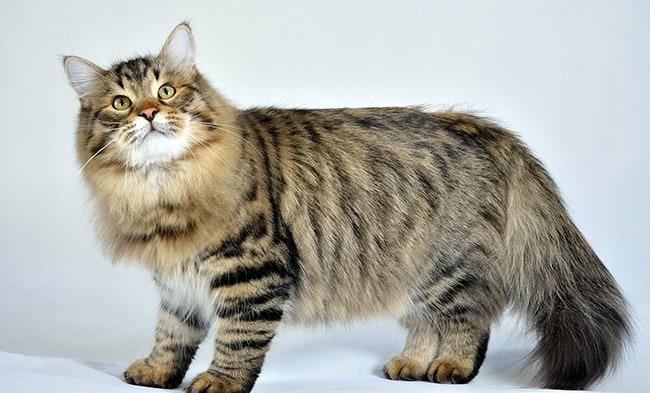 239e5154a623 Τότε ονομάστηκαν Μπουχάρα. Δεν είναι γνωστό ακριβώς ποιος και πότε παρέδωσε  τις γάτες ...