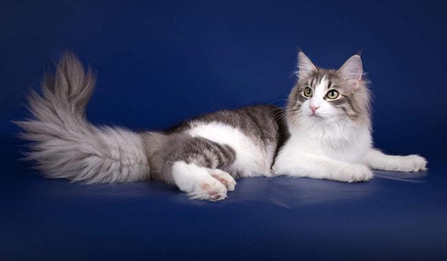 cdc4c550ec63 Οι εκδόσεις σχετικά με την προέλευση των γάτων διαφέρουν. Αλλά πολλοί  συμφωνούν ότι τον 16ο αιώνα