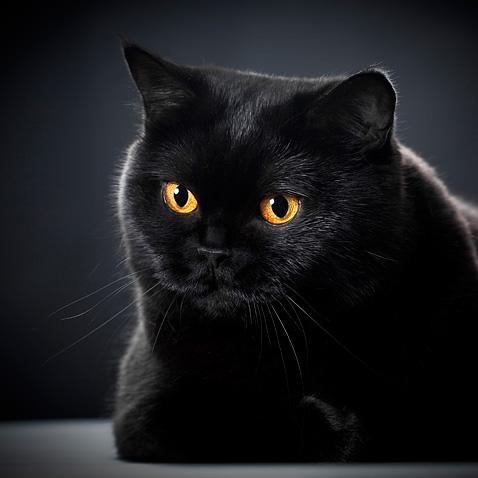 Velká tlustá černá krémová kočička