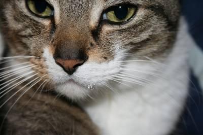 Почему у кота текут слюни как капли прозрачной воды
