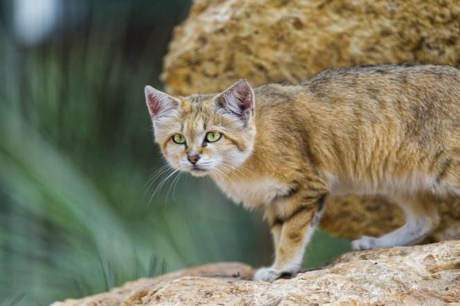 velký péro v těsné kočička videa