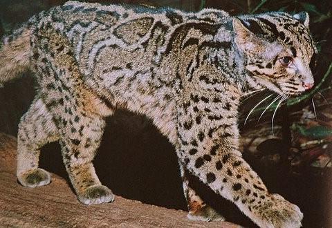 velká kořist šťavnatá kočička